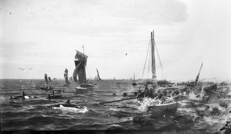 Avfotografert marinemaleri. Motivet er sildefiske med garn på åpent hav i små bruksbåter med seil. På venstre side i maleriet er en flokk spekkhoggere, og luften er full av måker. Foto: Stavanger Sjøfartsmuseum, ST.S 1983-057-0192.